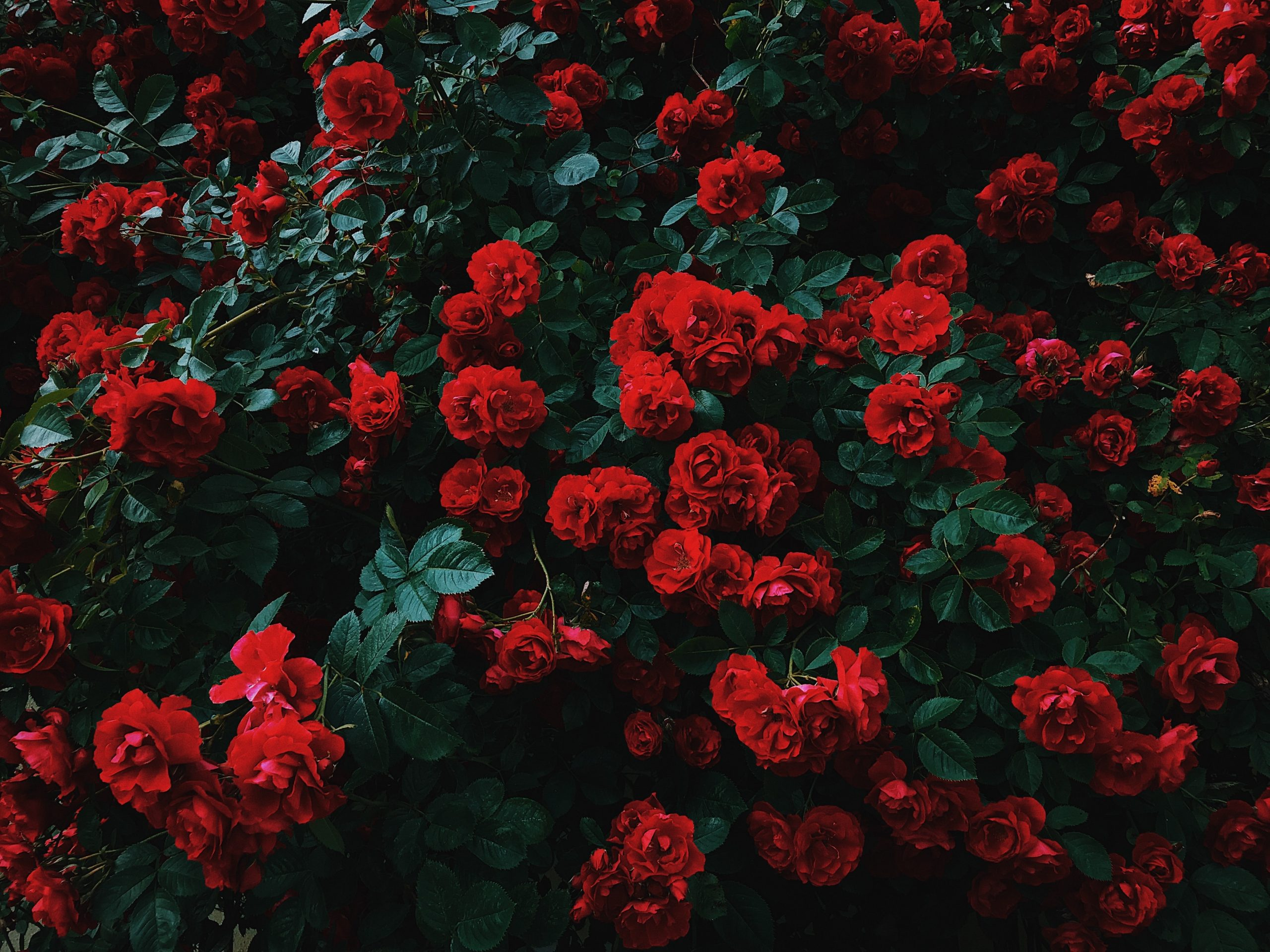 Roses to Smell